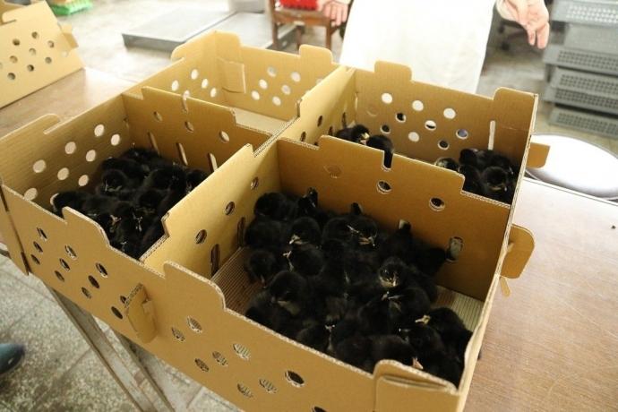 興大保種20餘年 300隻金門土雞返鄉助建立在地品牌