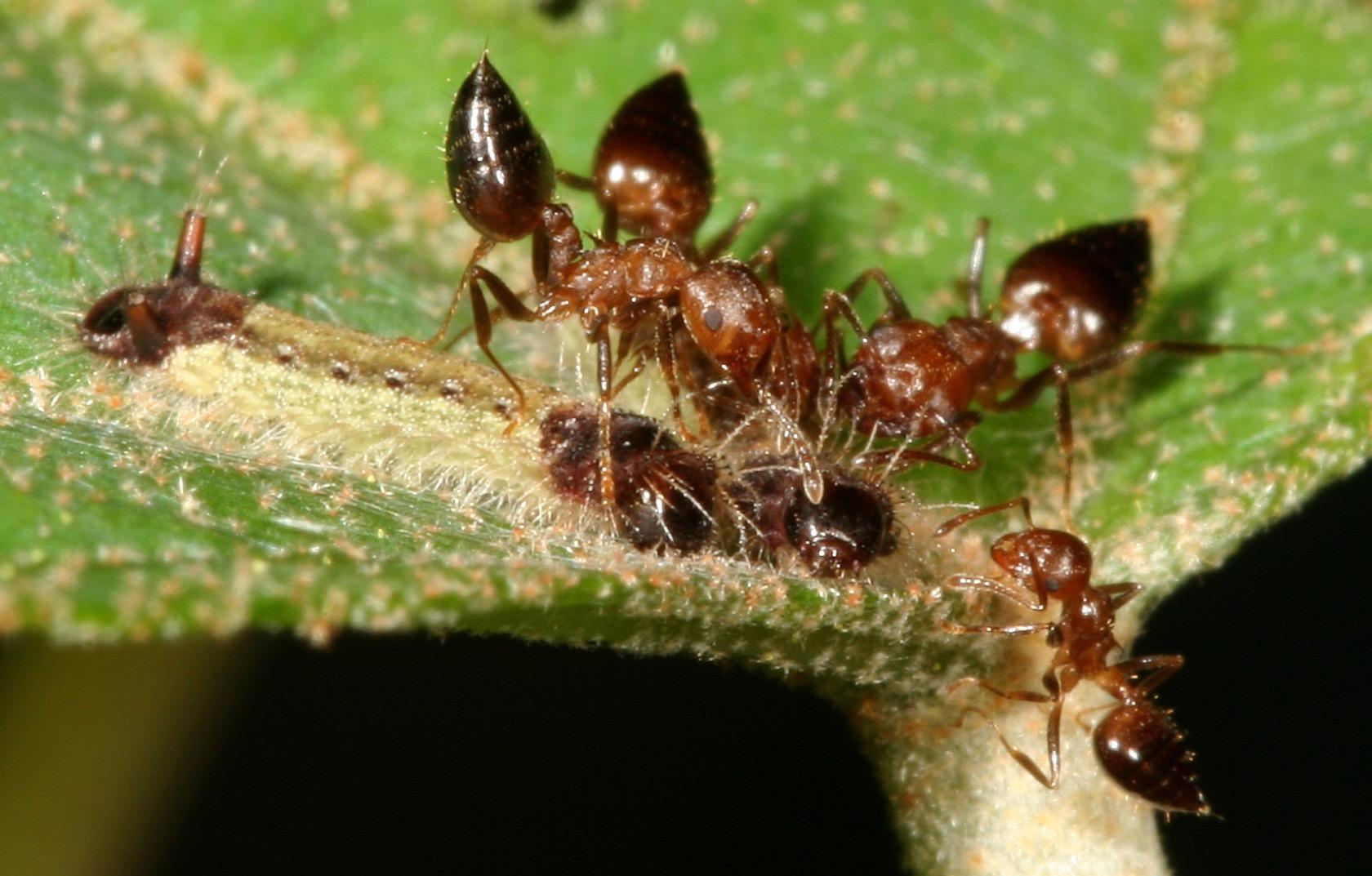 正在被舉尾蟻照護的虎灰蝶幼蟲(圖片提供王俊凱)