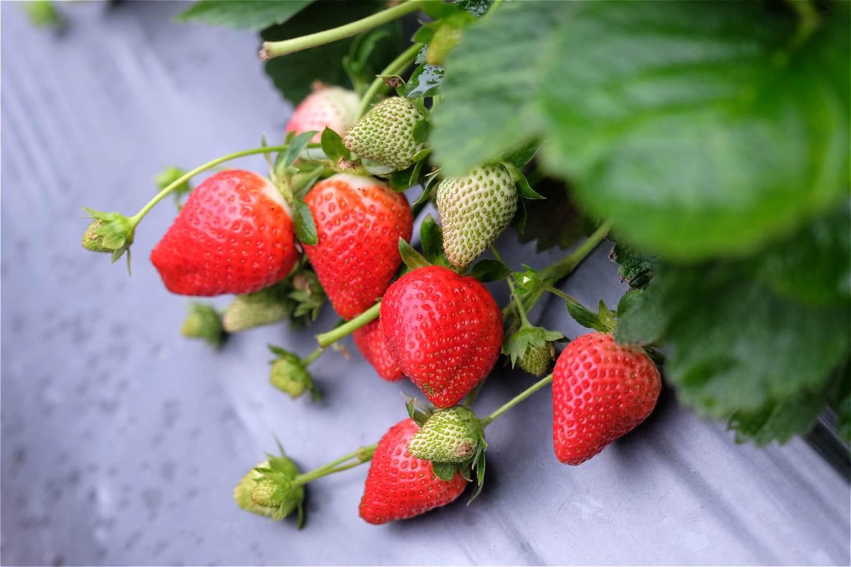 草莓果實紅潤健康,園中病蟲害幾乎絕跡(攝影/蔡佳珊)
