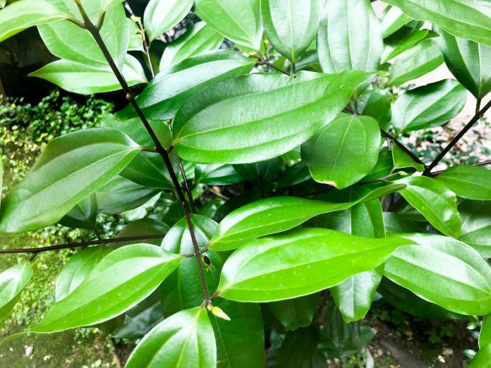 土肉桂是臺灣國產香料的明星樹種,其葉子富含肉桂醛,且香豆素含量明顯低於商用肉桂,具有進軍國際市場的優勢。