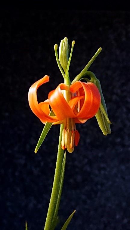 草地上的橘色精靈~「細葉卷丹」再現芳蹤 -中興大學與種苗改良繁殖場團隊開啟保育新契機