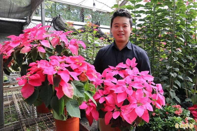 聖誕紅不是只能紅配綠!興大教師陳彥銘培育苞葉呈桃紫色「愛神」新品種。(記者蘇孟娟攝)
