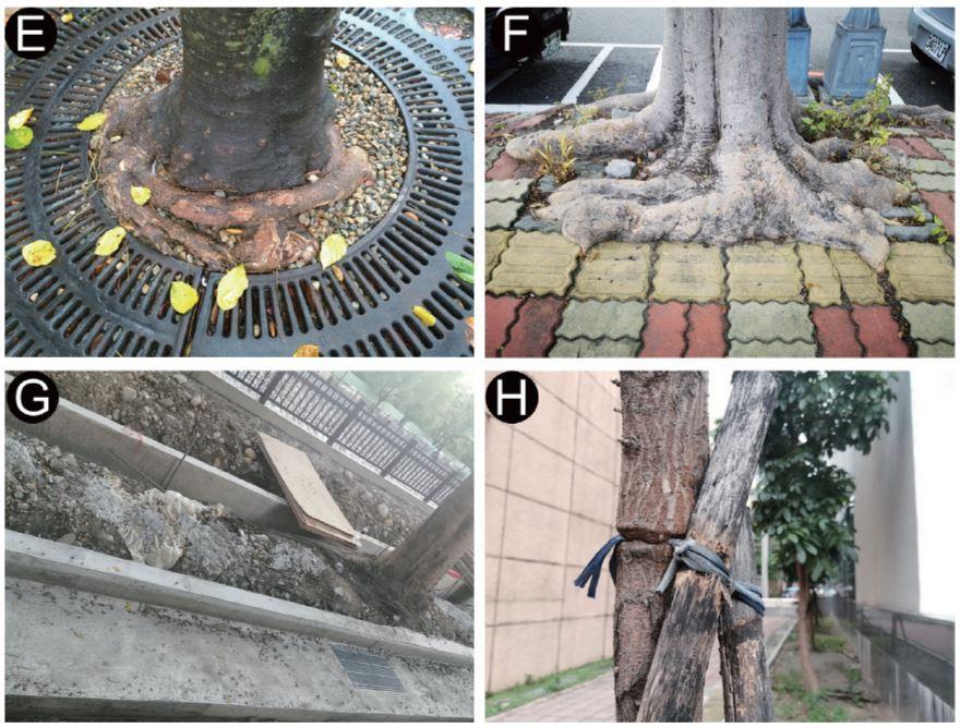 圖一:(A)樹種選擇錯誤,濱海鹽濕地不適合落羽松;(B)根球包材未拆,影響根系發展與林木生長; (C)修剪傷口過大,無法癒合而往內腐朽;(D)傷口撕裂破碎且不易癒合; (E)容器苗的盤根,會隨著生長而影響生長勢與支撐力;(F)植穴太小,破壞設施與抑制林木生長; (G)因施工損害根系,還留有不良廢棄物;(H)支架未及時拆除,影響林木生長與造成折斷風險。(邱清安攝影)