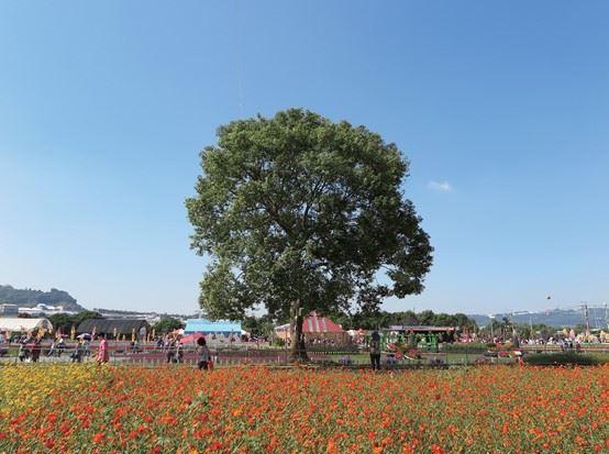 圖五:投注成本低,但卻能生長為優美大喬木的臺灣原生種樟樹。(邱清安攝影)