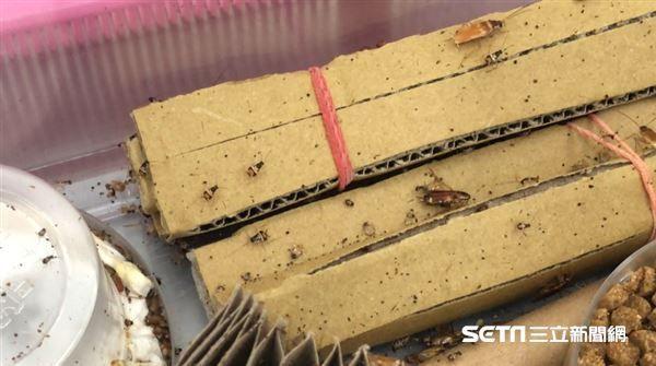 中興大學昆蟲系教授黃紹毅博士,他表示,不建議打爆蟑螂,因為細菌、病原菌等可能噴濺。(圖/記者張雅筑攝)