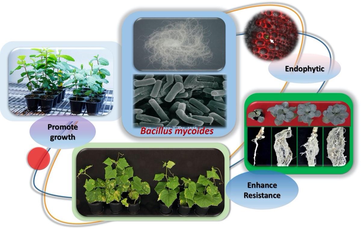 蕈狀芽孢桿菌的形態與其保護作物健康的功效