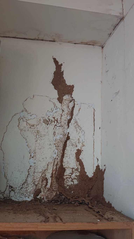 格斯特家白蟻建築之泥道(圖片提供/李後鋒)