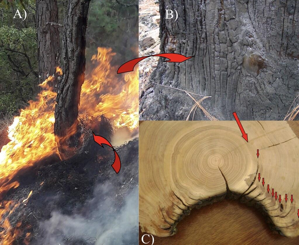 由年輪中的燒傷疤痕可判斷林火次數。圖片來源:本文作者。(出處:Cerano-Paredes 等人 2020,doi: 10.3791/61698)