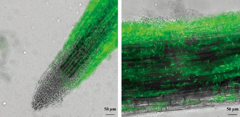 草桿菌生物膜能夠纏據在植物的根,形成抑制病菌的生物膜。