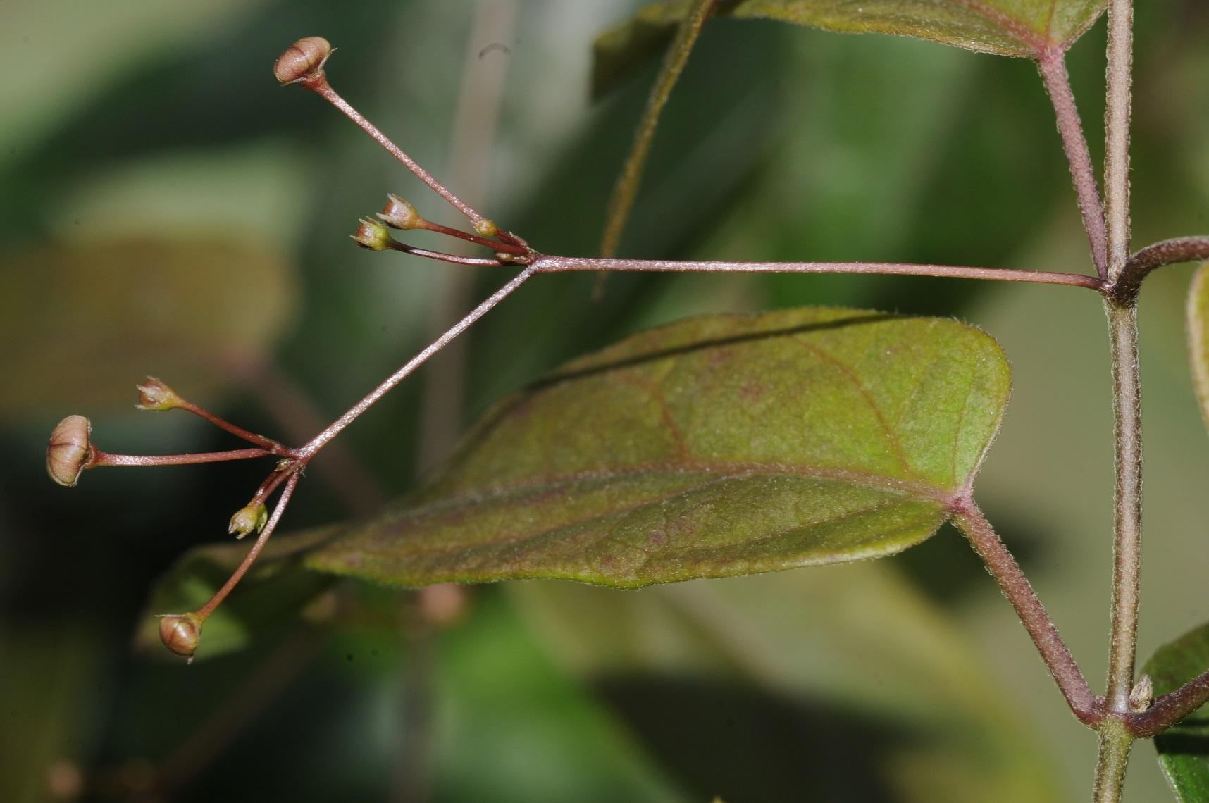 臺灣植物物種豐富,此為曾彥學發表新種植物「呂氏鷗蔓」。圖片提供/曾彥學