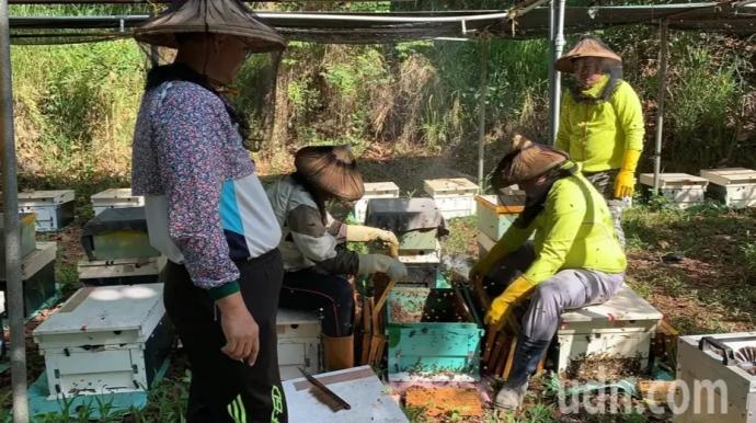 【媒體報導】新化林場與阿里山蜂農攜手 150公頃桃花心木森林產蜜