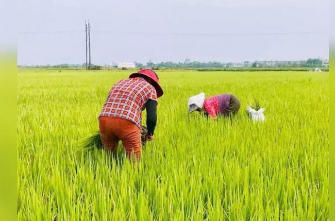 【媒體報導】稻米生產過剩庫存壓力大 農委會擬推水旱田輪作減產