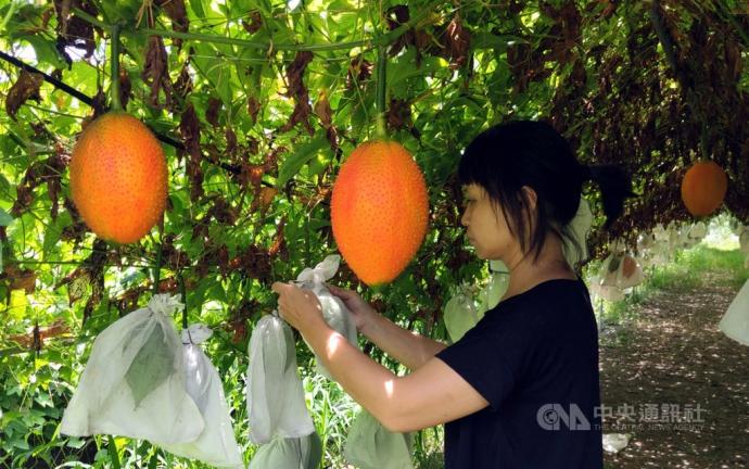 【媒體報導】原鄉新興特色作物木虌果 通過命名台東1號